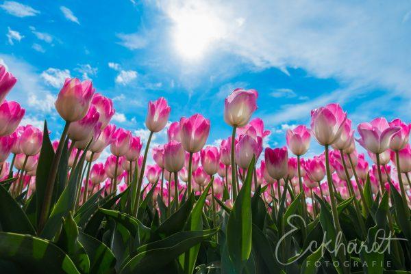 Tulpenveld met roze tulpen