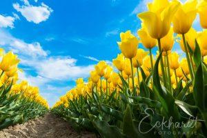 Bloembollenveld met gele tulpen