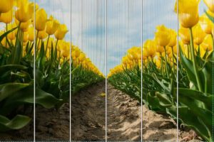 Geel bloembollenveld