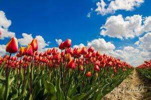 Tulpenvelden in bloei 02