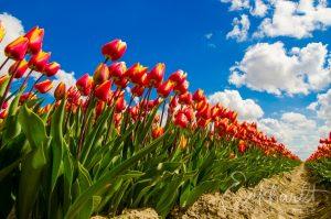 Tulpenvelden in bloei 03