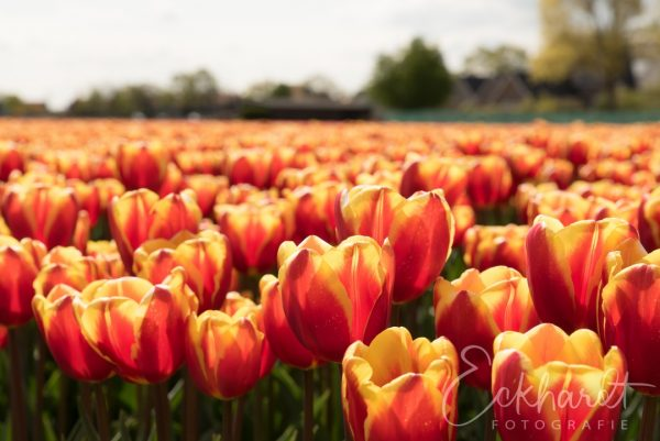Bloembollenvelden in bloei 01
