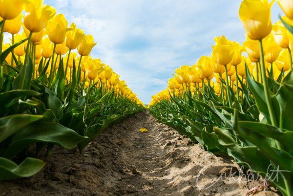 Bloembollenvelden in bloei 03