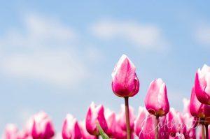 Bloembollenveld met roze tulpen 03